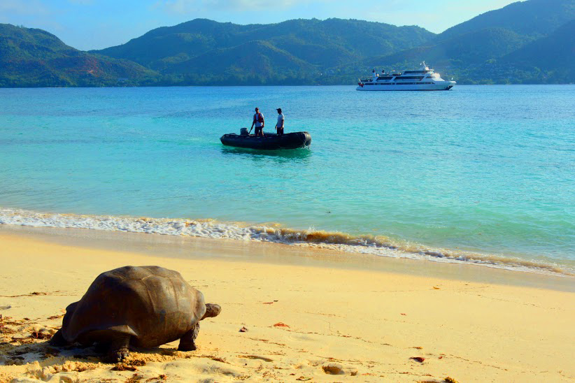 A Giant Tortoise on a golden beach looking toward our cruise yacht