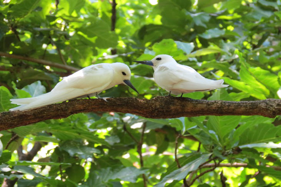 Two small White Terns having a chat on a branch