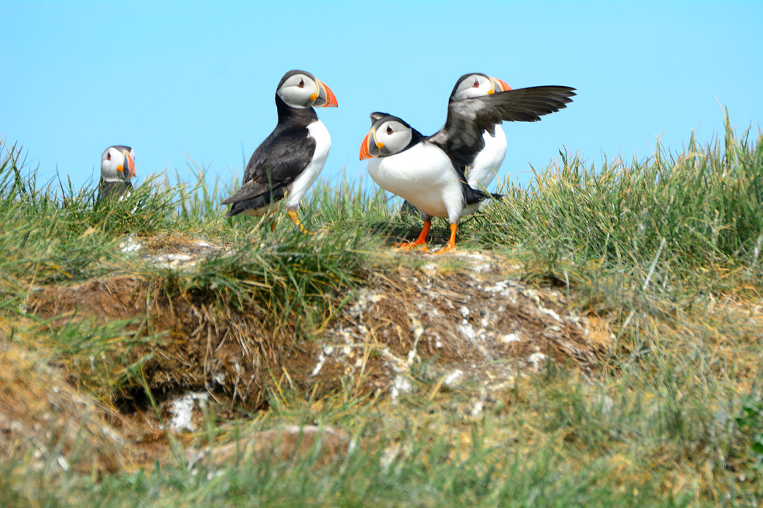 Four small black and white puffins with orange beaks standing on the ground