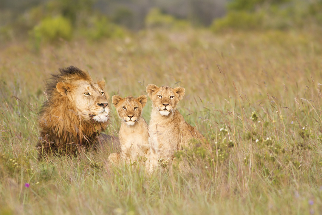 Mother lion relaxes in the tall grass with a watchful eye over her two lion clubs relaxing with her