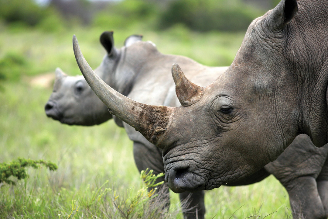 A rhinoceros with one very larger horn and one smaller horn stands infront of another rhino.