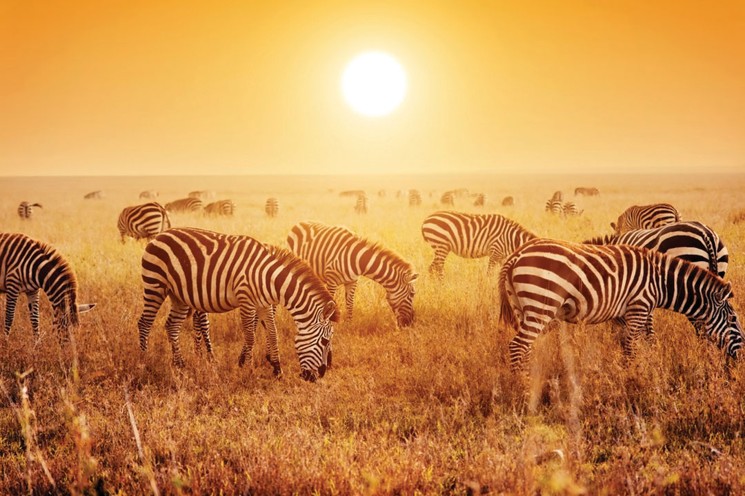 Zebras feeding on grass under the large yellow sun over the horizon