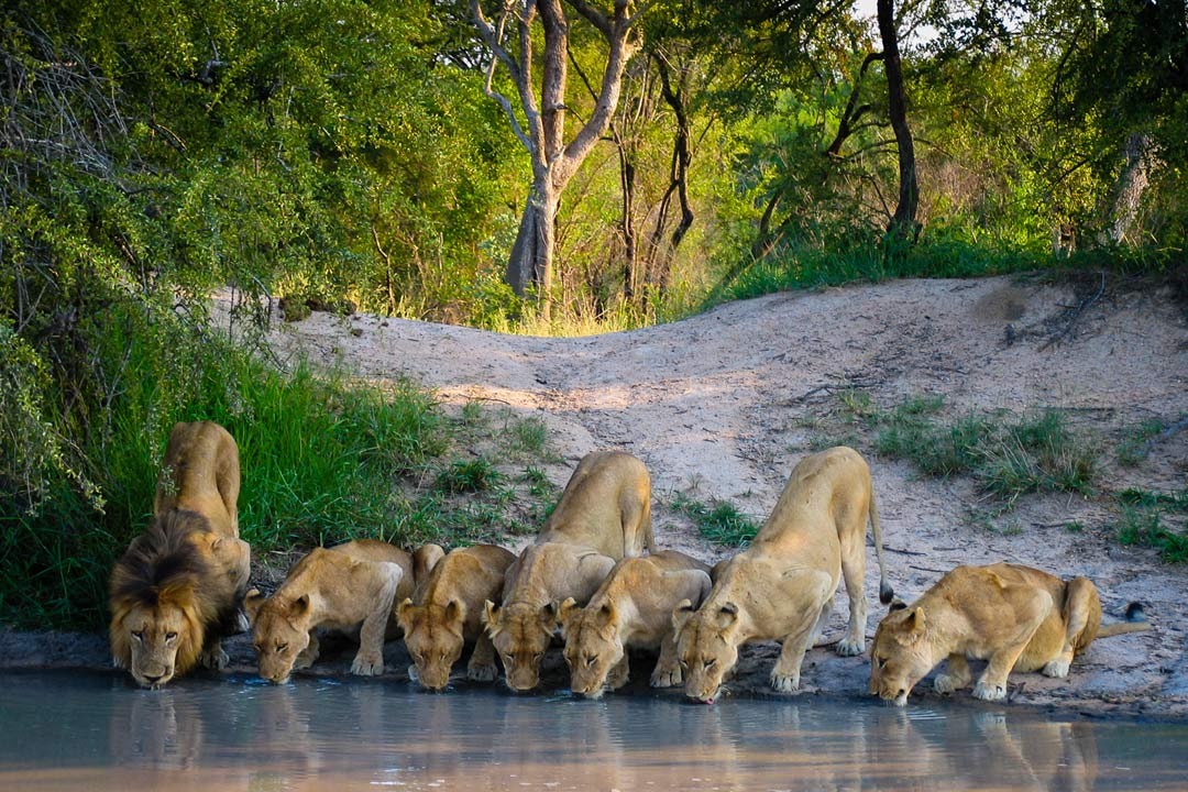 An adult lion mother drinks from the lake water with 6 of her cubs doing the same besides her