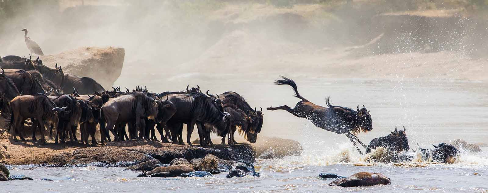 Herd of Wildebeest diving into the river
