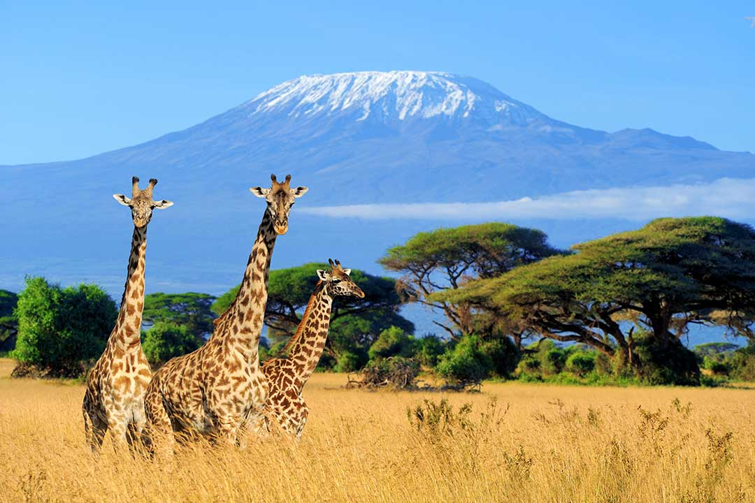 3 giraffes looking into the camera, standing in shribland with a backdrop of a snowcapped mountain