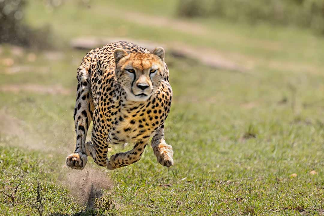 A female cheetah chasing down her prey