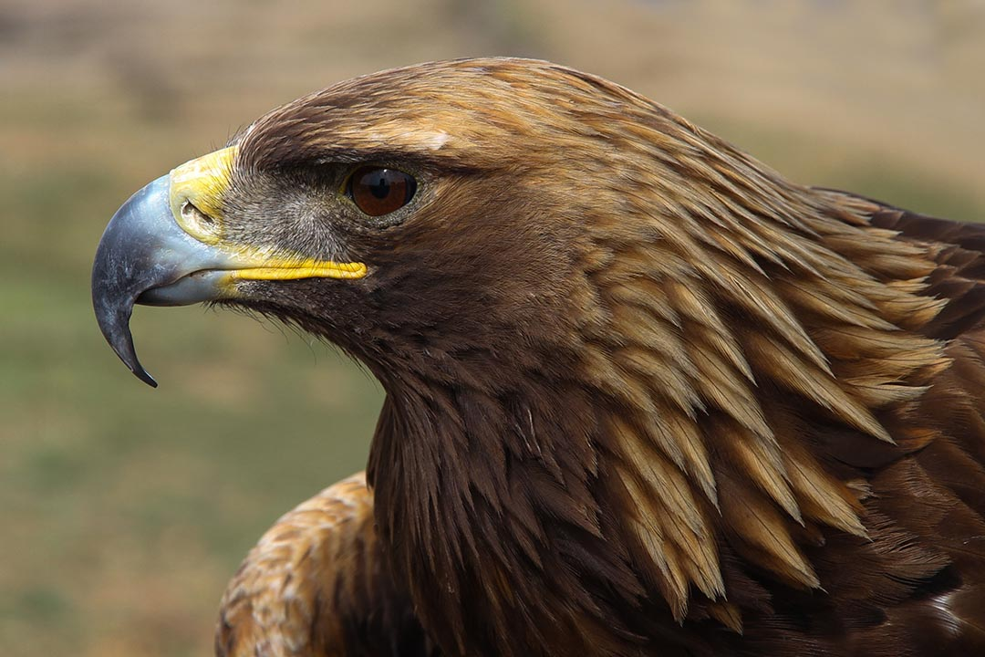 Up close shot of an eagle with brown plumage, and a yellow and grey beak and a jewel-like brown eye