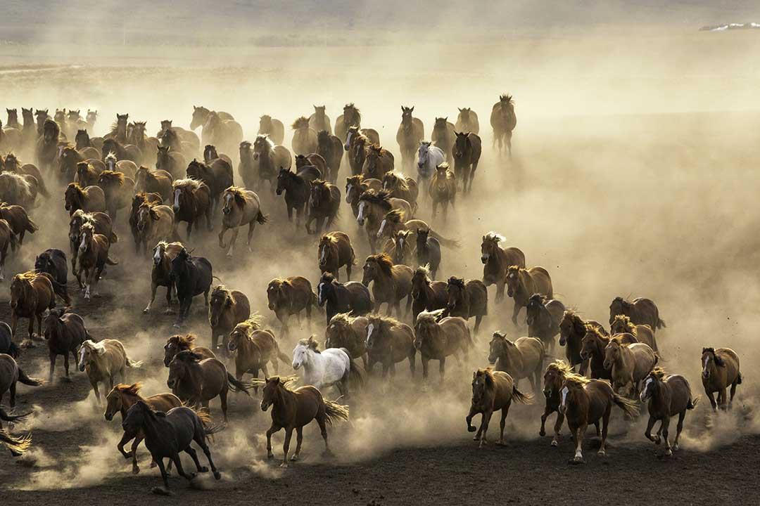 A large group of brown horses gallop across the terrain kicking up huge clouds of dust
