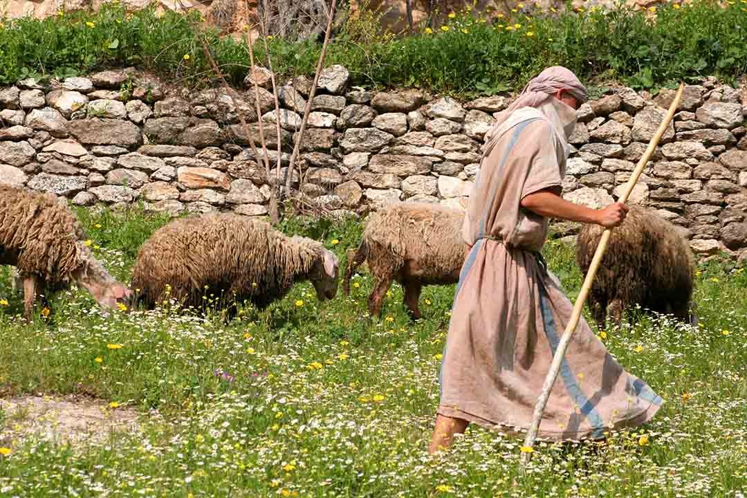 A shepherd in traditional headdress with wooden walking stick herds his sheep