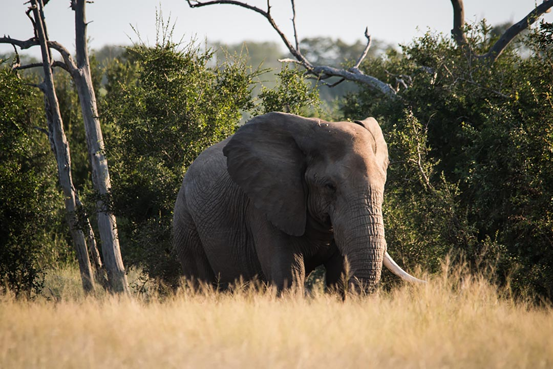 A huge elephant with only one tusk in the African bush
