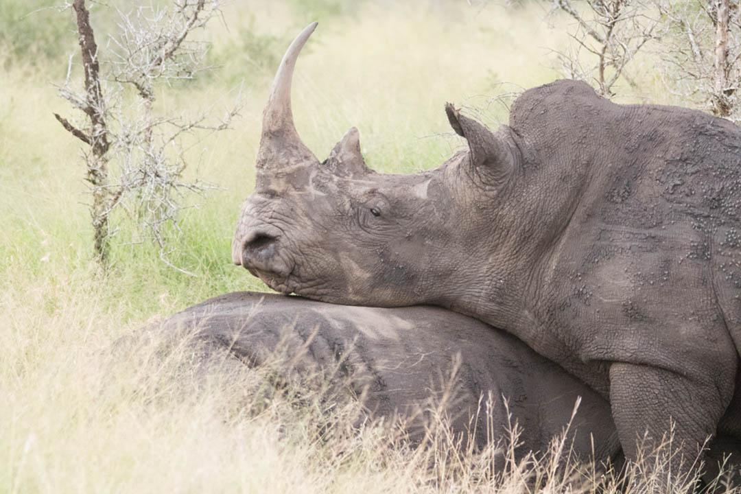 Rhino fighting on safrai at Hlane