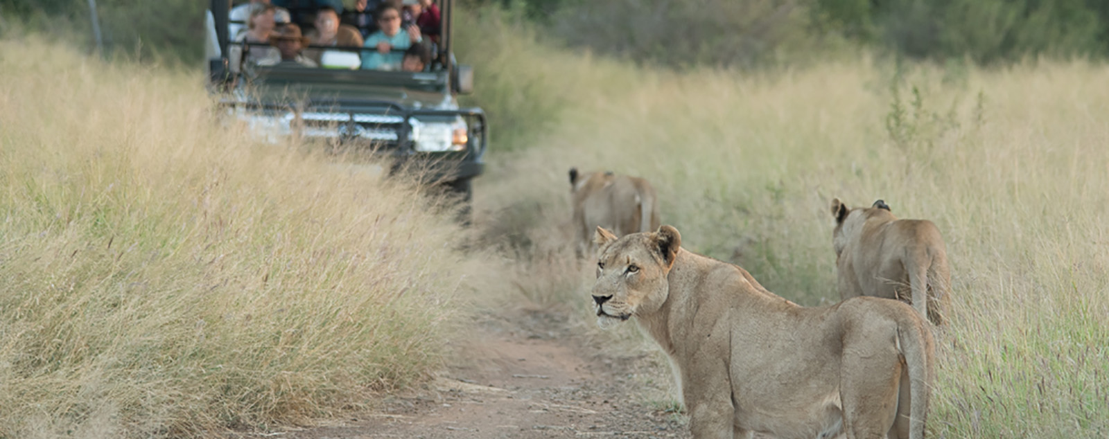 Three lions patrolling their territory with a jeep in the background full of poeple watching the lion