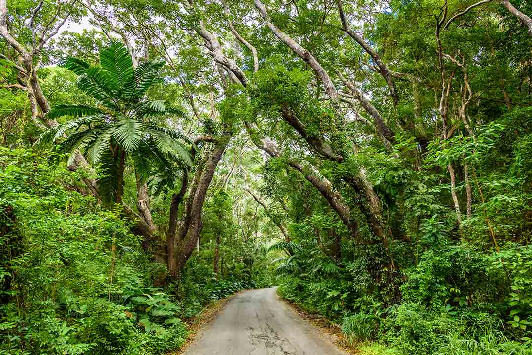 AA green canopy of ferns, trees and leaves covers a narrow road through the shrubbery.