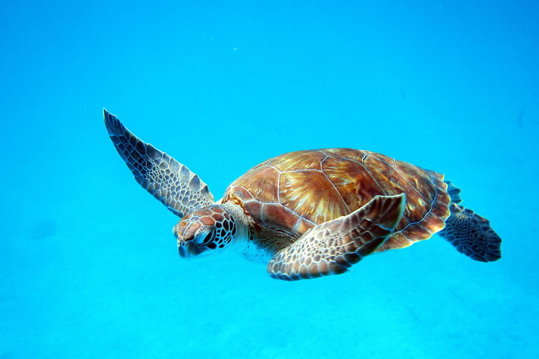 A giant sea turtle serenely swims in clear blue water.