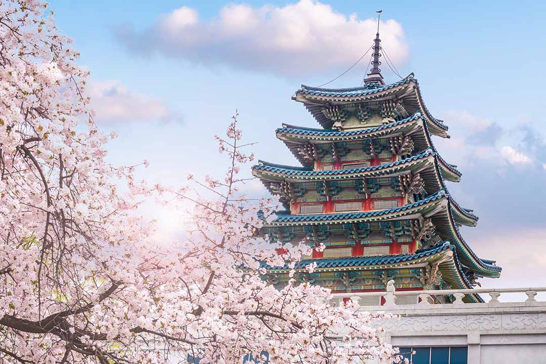 cherry blossom in spring of Gyeongbokgung Palace in Seoul