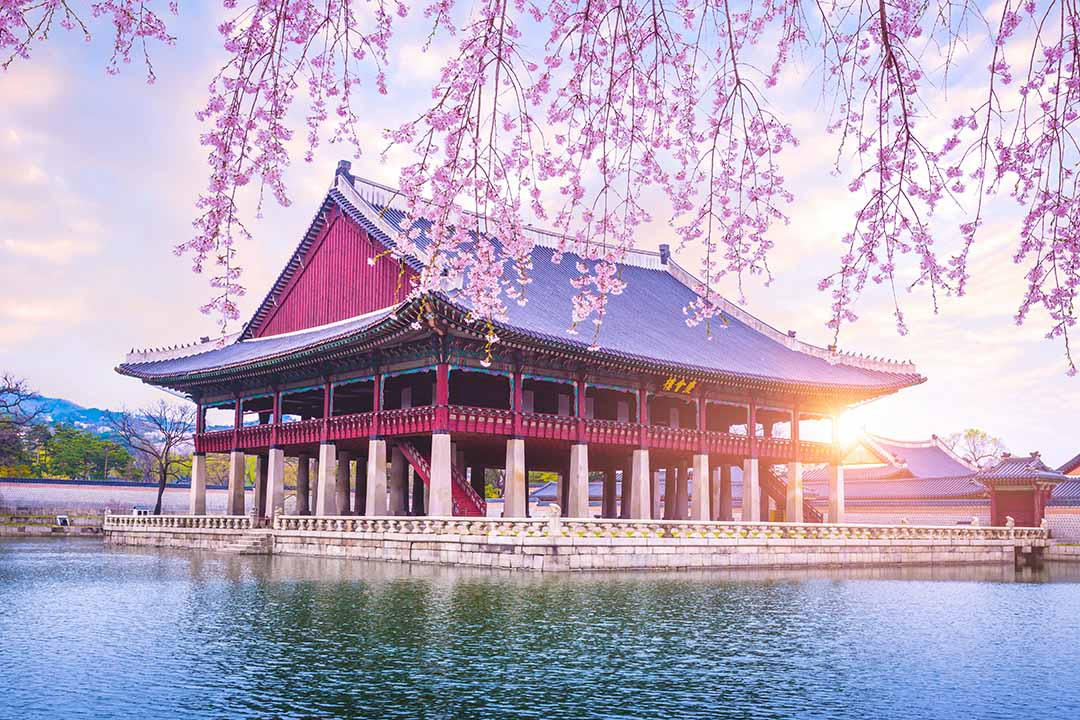 Gyeongbokgung palace with cherry blossom tree in spring time in Seoul city of Korea.
