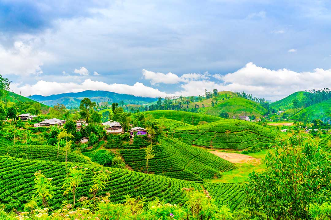 Tea fields with houses and trees on horizon