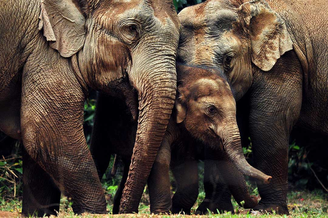 Sri Lankan elephant family