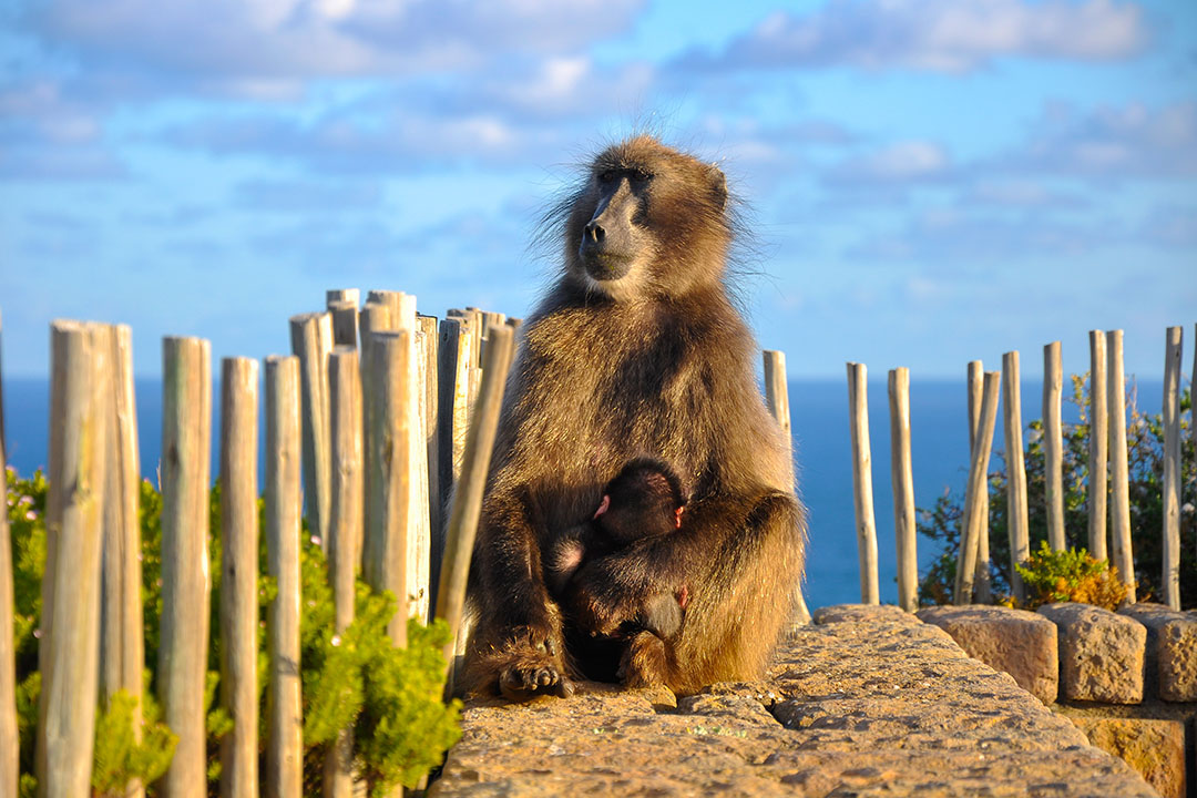 Chacma Baboon holds it's baby at Cape of Good Hope
