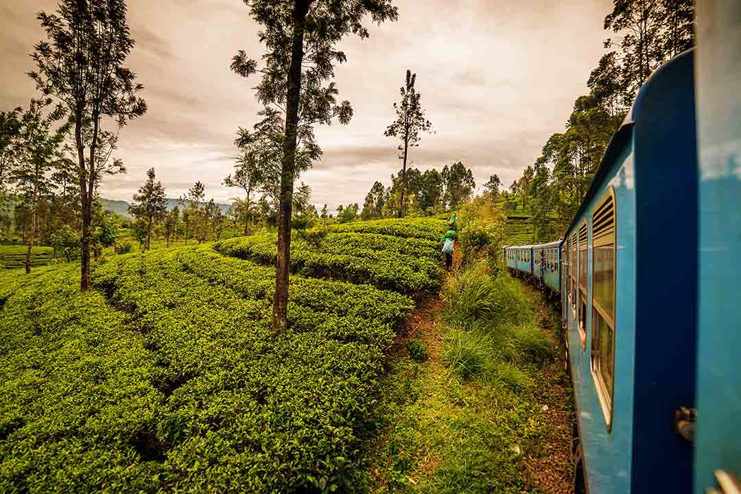 Sri Lanka: famous Ceylon highland tea fields next to Nuwara Eliya
