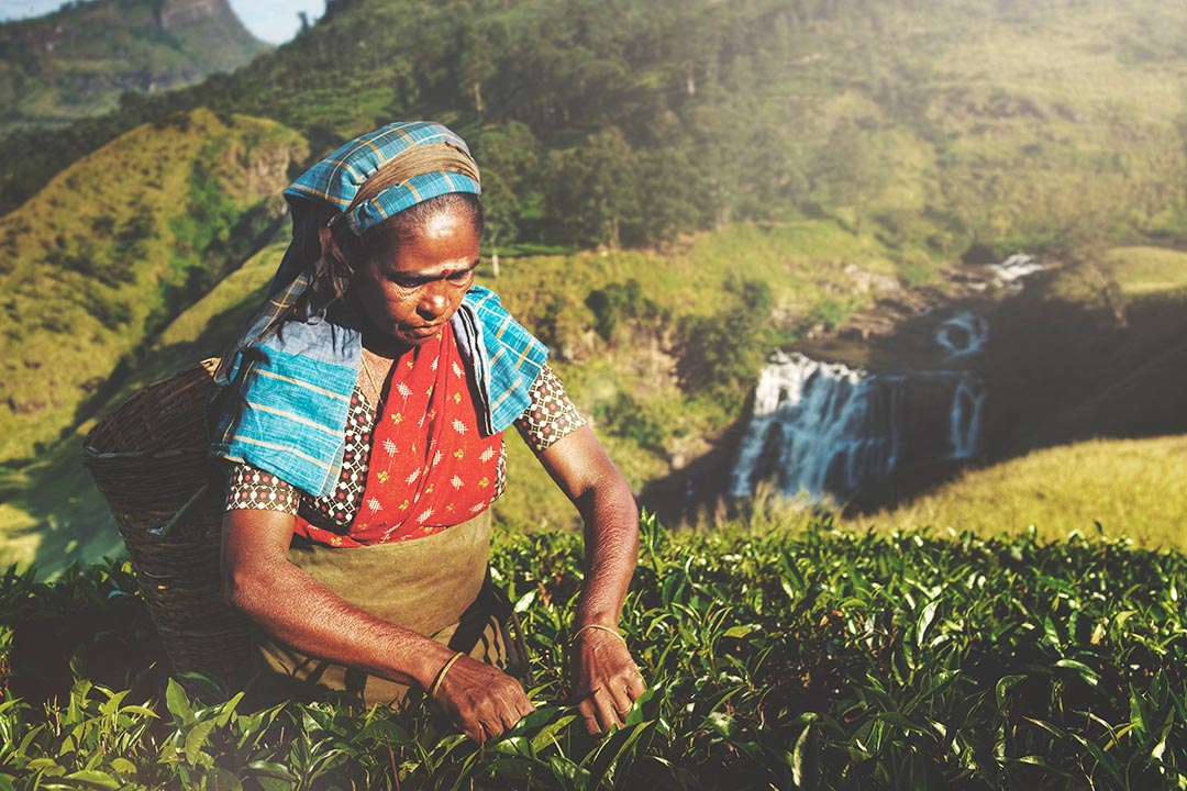 A Sri Lankan woman in the tea fields