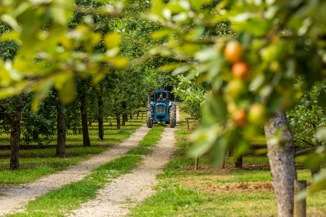 A blue tractor driving on a track in an apple orchard