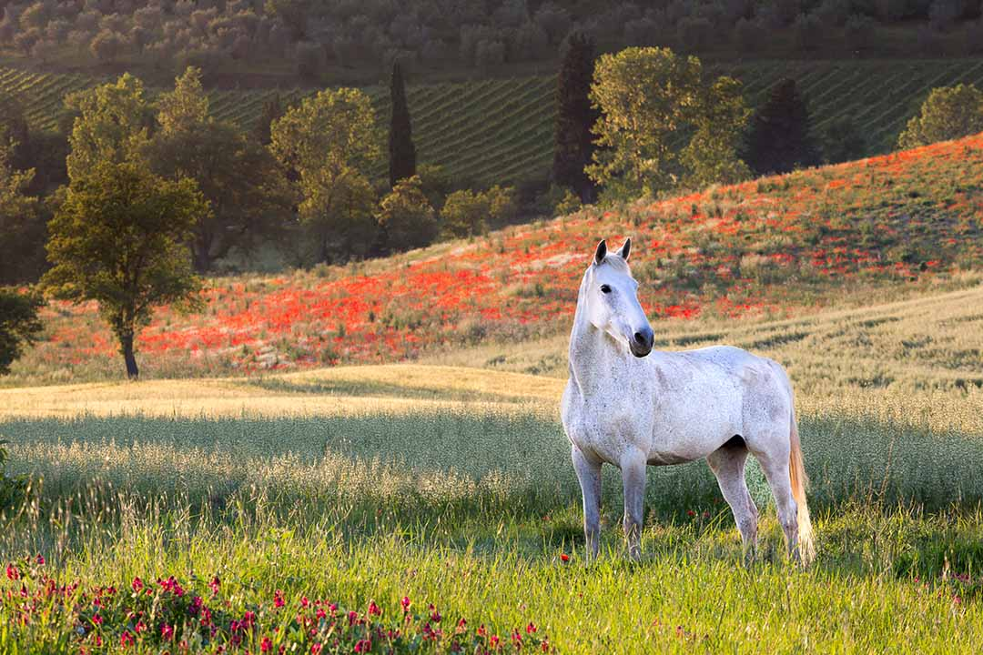 A white horse stands in a field surrounded by grasses and red flowers