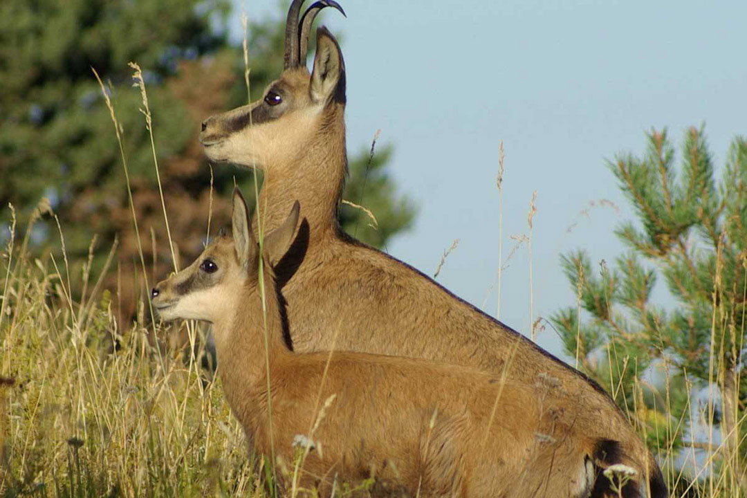 Two Chamois- a goat/antelope native to the area- surveying their surroundings