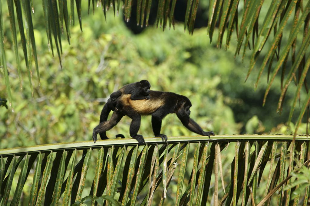 A mother spider monkey crawls across greenery with her infant on her back.