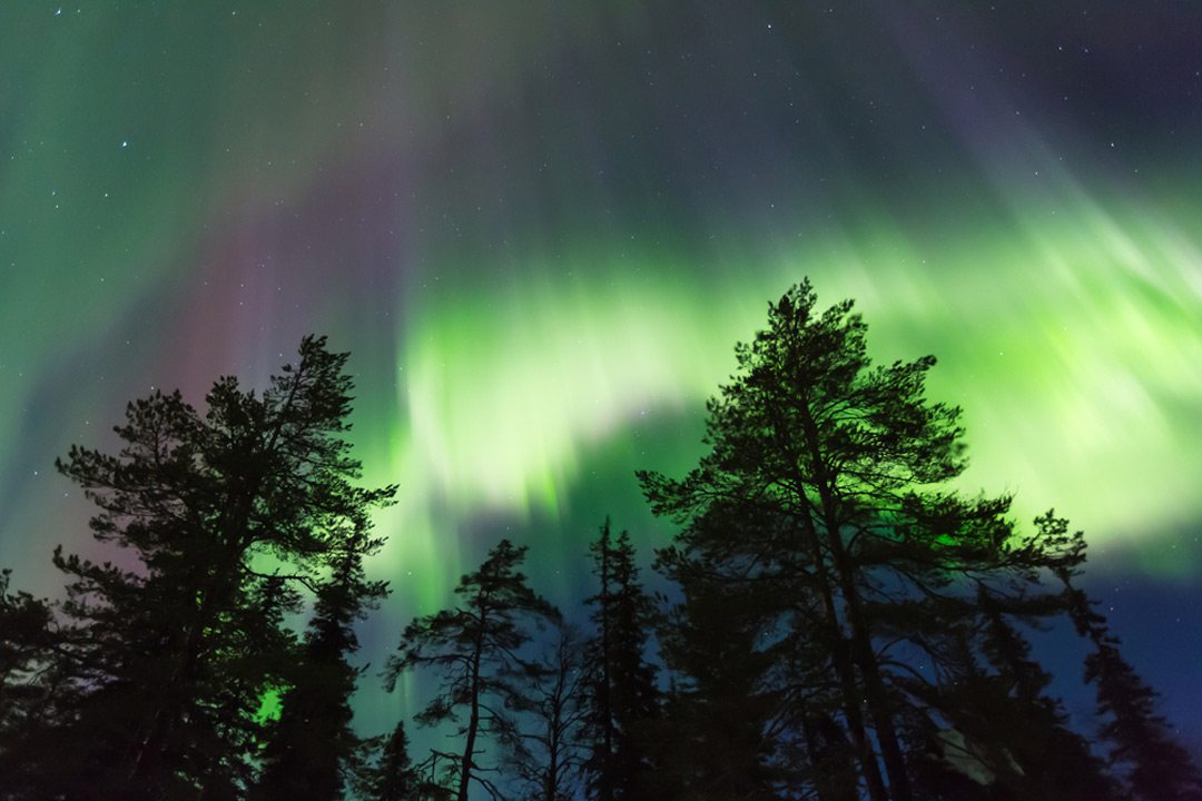 The green colours of the northern lights with tall silhouette of pine trees in foreground.