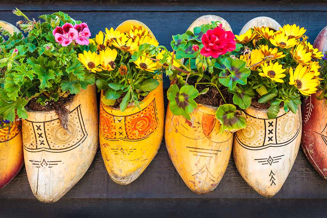 Old wooden clogs with blooming flowers hanging on a black wooden wall in The Netherlands