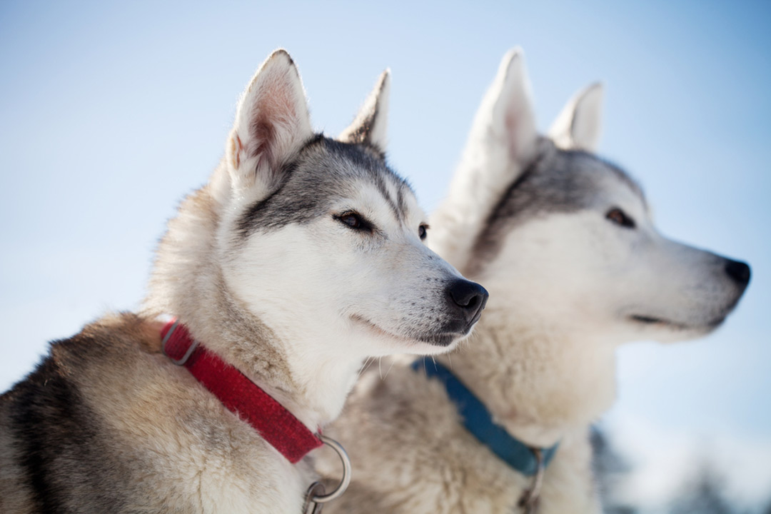 Two husky dogs with red and blue collar