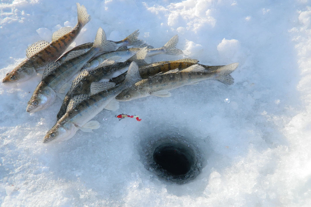 Fish on the ice next to ice fishing hole in the snow.