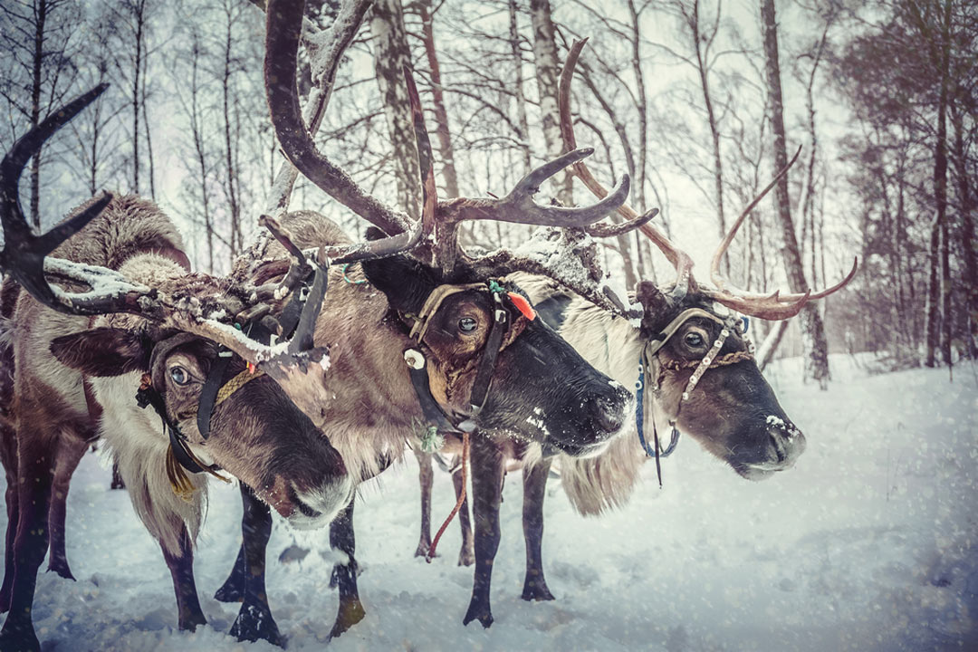 Reindeer in the snow with trees in the background
