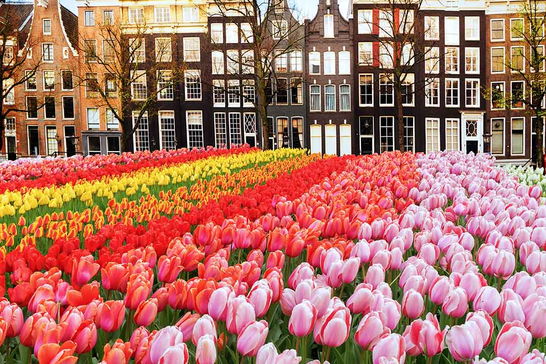 A row of traditional tall Dutch houses behind rows of bright tulips