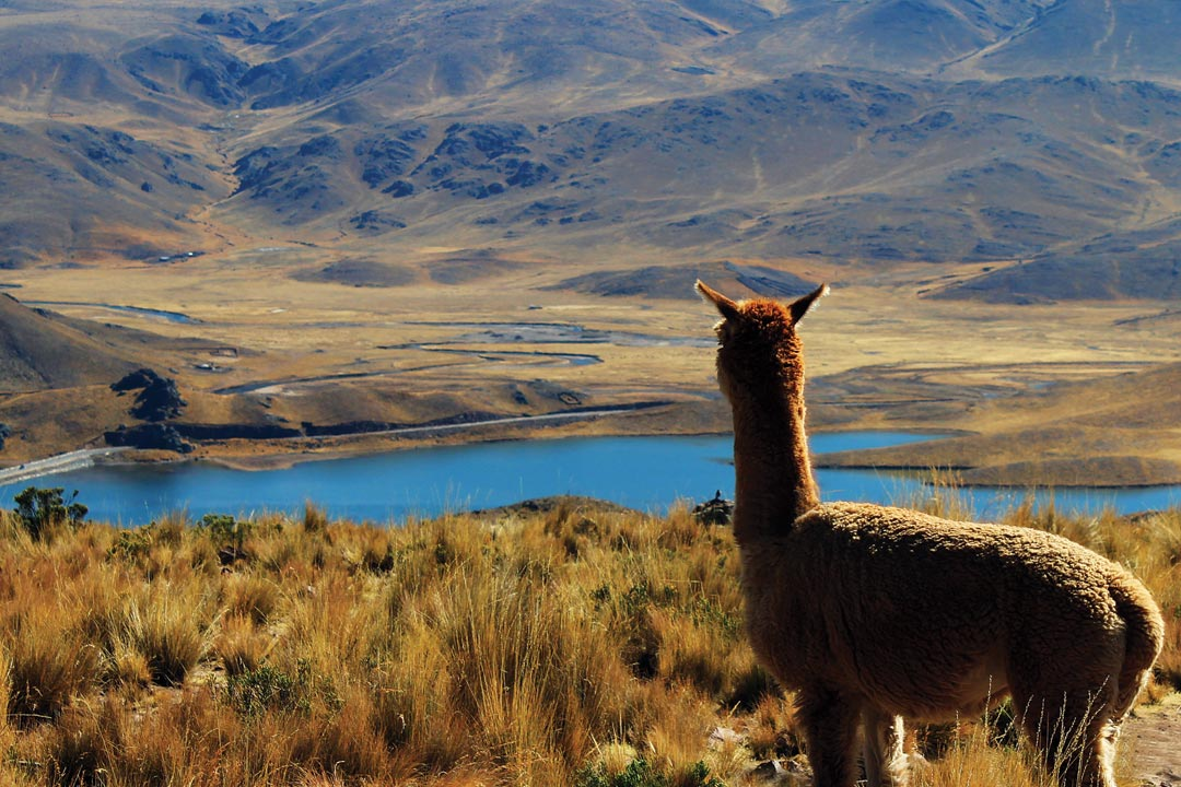 An alpaca looking over a blue lake in the mountains of Peru
