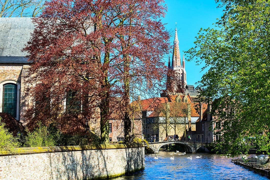 Canal and bridge view with white swans on the water with colorful spring trees and church tower in popular Belgian destination.