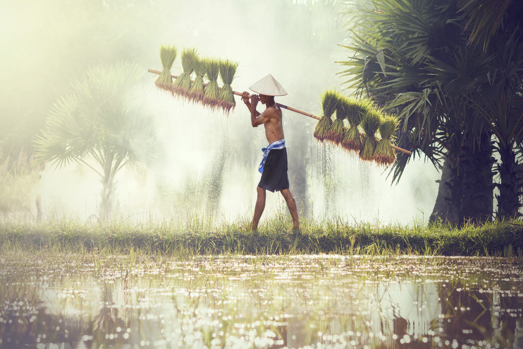 Man walking across paddy field with bags of rice