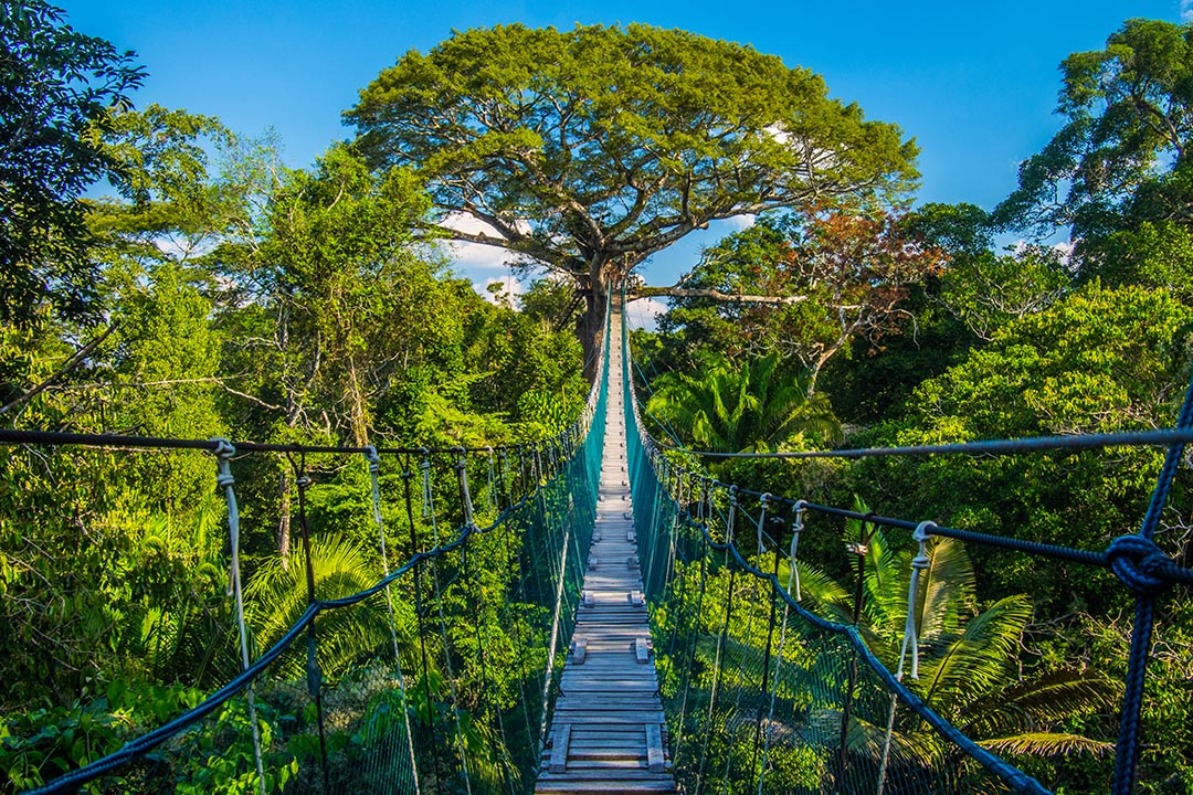 A central view down a suspension bridge in the Peruvian Amazon Rainforest which provides a walkway over the green trees.
