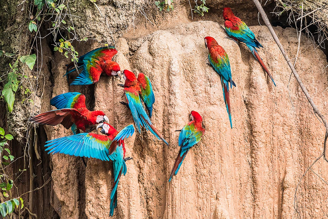 rainbow coloured macaws perched on clay in the peruvian Amazon jungle at Madre de Dios Peru