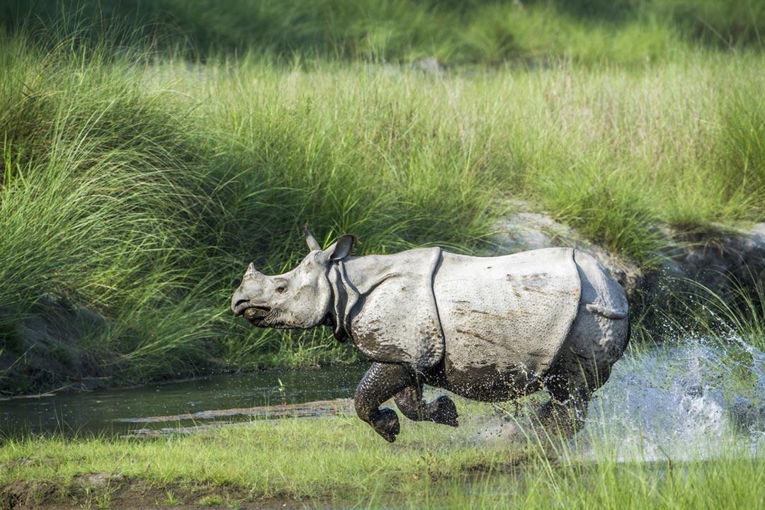Rhino running through the green landscape of Chitwan National Park
