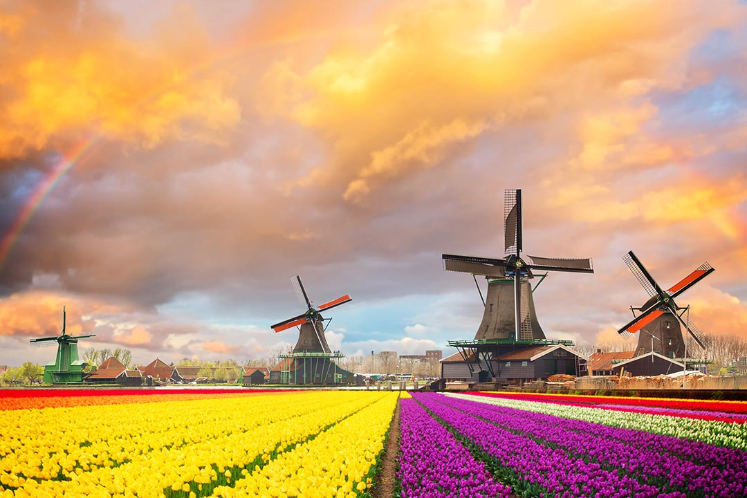 In the distance there are windmills on a farm, in front are rows of vivid yellow and pink flowers