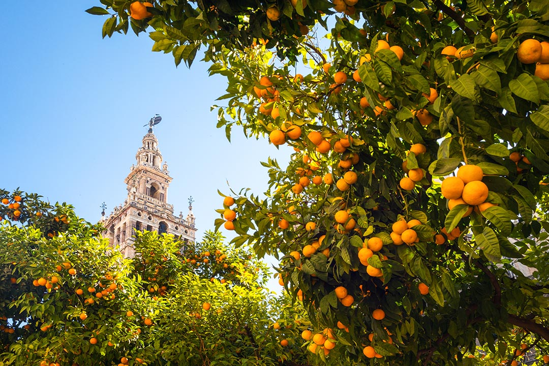 Oranges on a tree with the cathedral bell tower in the background.