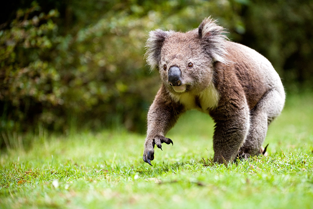 A lone koala walking over some grass.