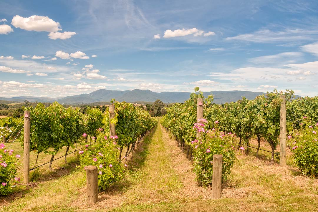 A view across a vineyard in the Yarra Valley.