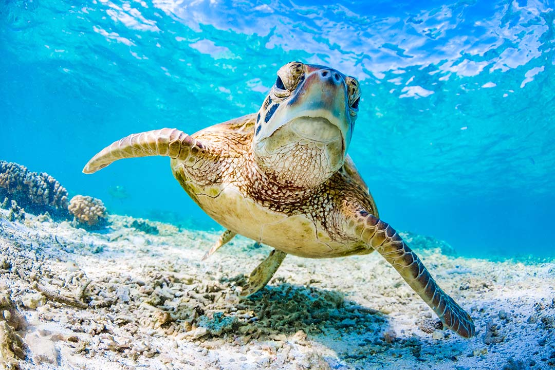 Green Turtle Swimming on the Great Barrier Reef.