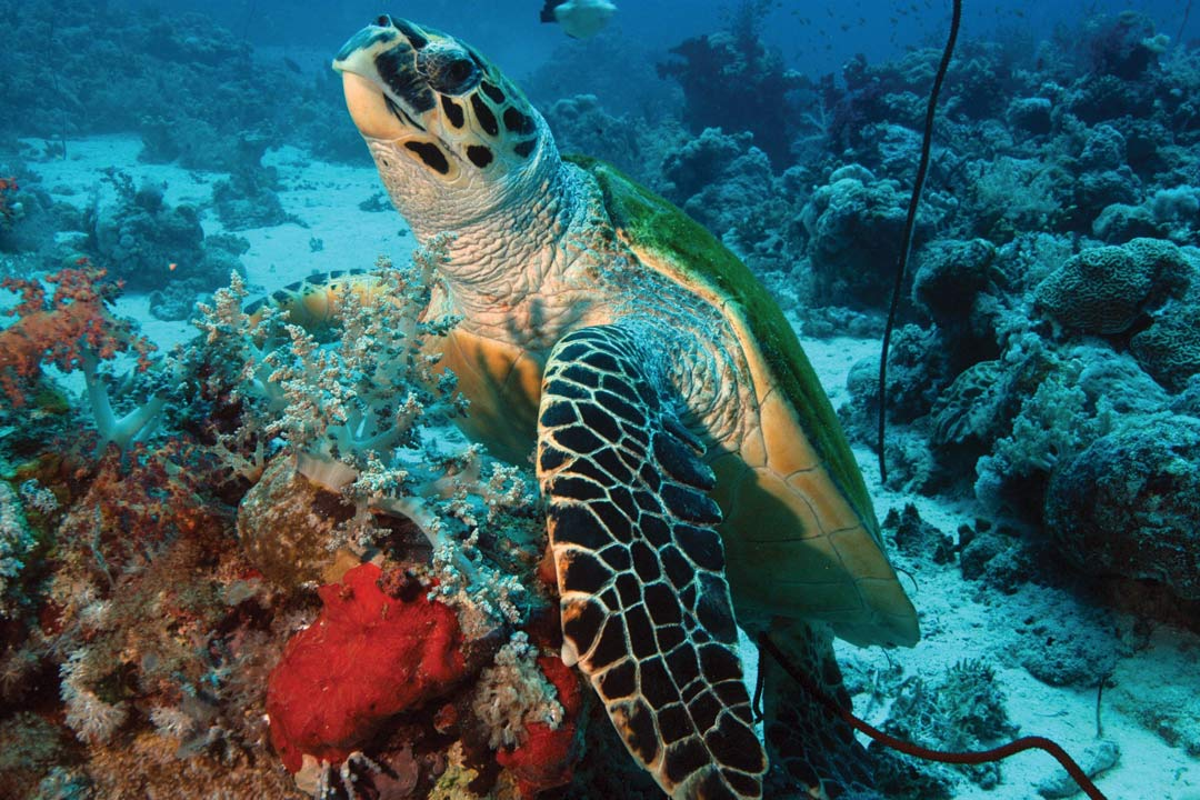 A giant turtle swimming in turquoise water.