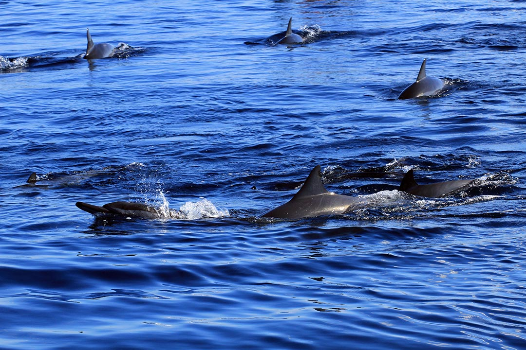 Spinner dolphins swimming in the blue ocean waters of Mauritius.