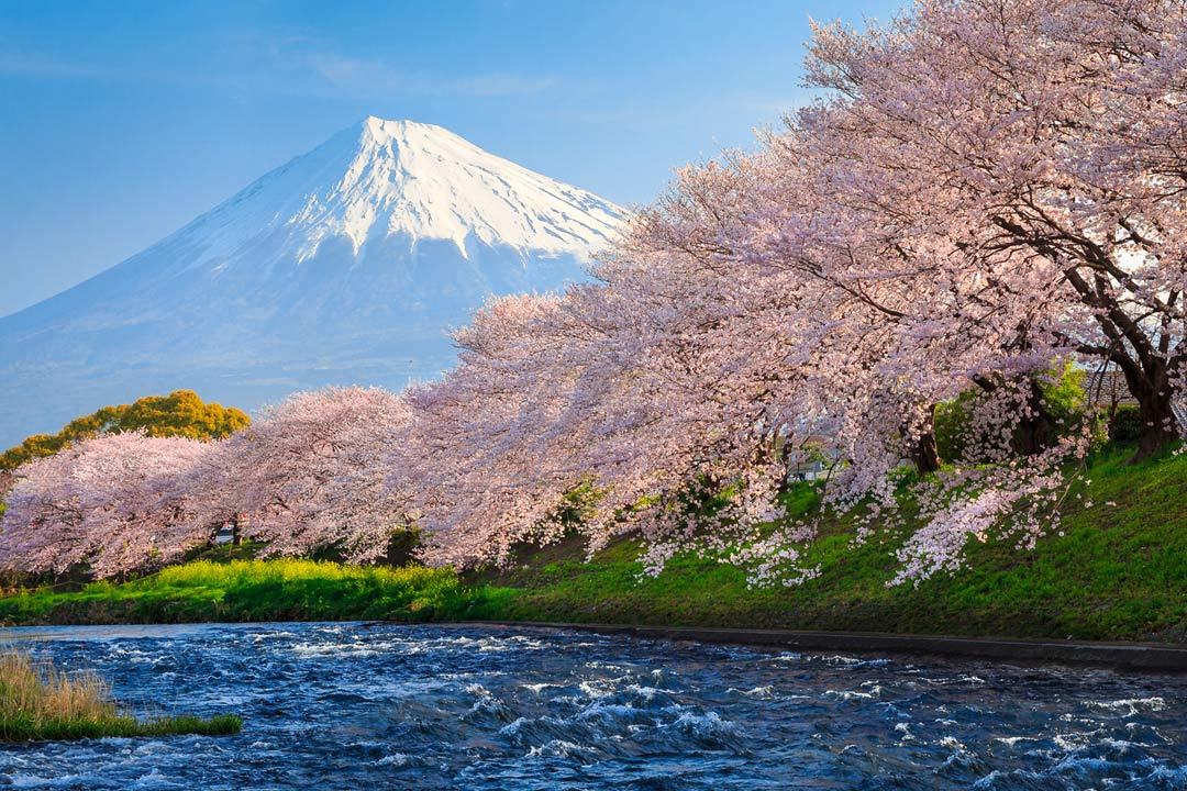 Banner of Mount Fuji with pink blossom tree in the foreground.