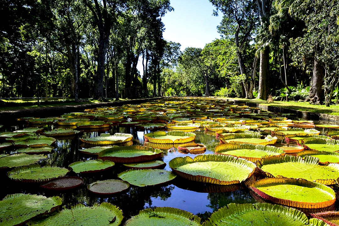 Giant water lilies surrounded by trees in Pamplemousses garden in Mauritius.